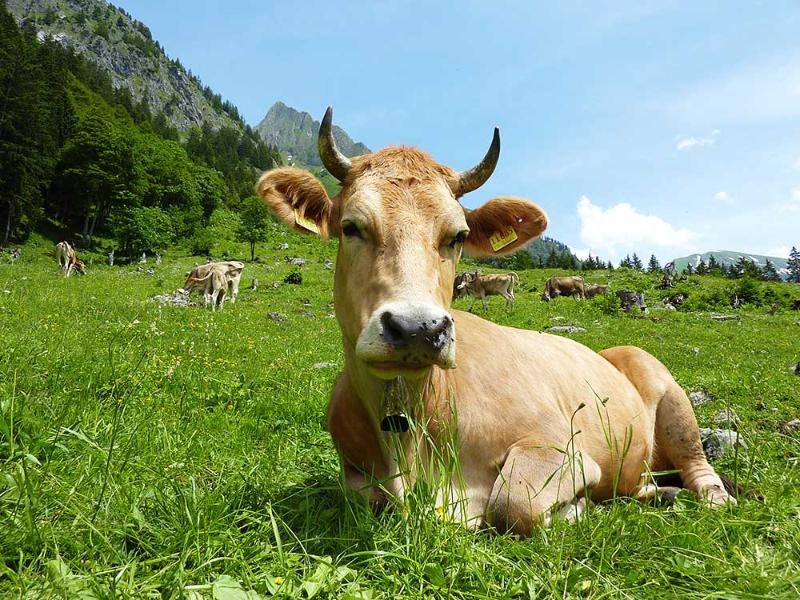 Eine Kuh macht Muh   Berggasthof Sonne Imberg in Sonthofen